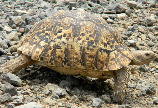 Leopard Tortoise, Geochelone pardalis, photo © by Michael Plagens