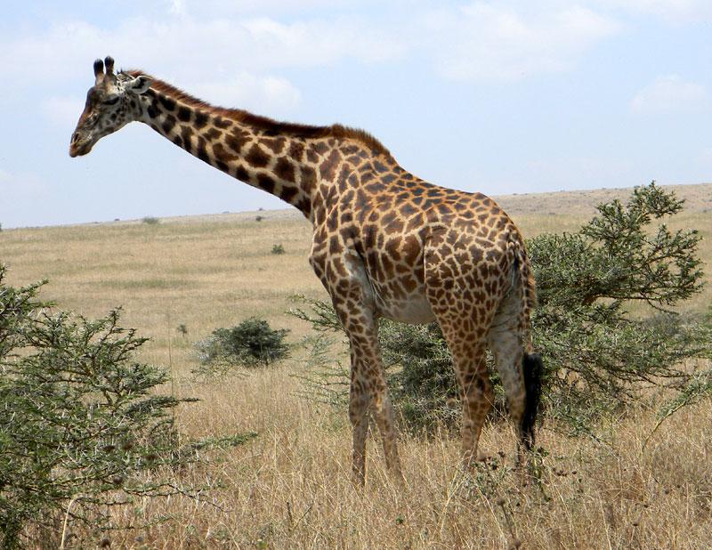 Maasai Giraffe photo © by Michael Plagens