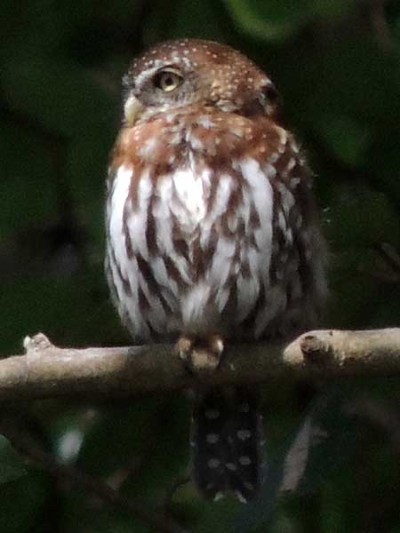 Pearl-spotted Owlet, Glaucidium perlatum, photo © by Michael Plagens.