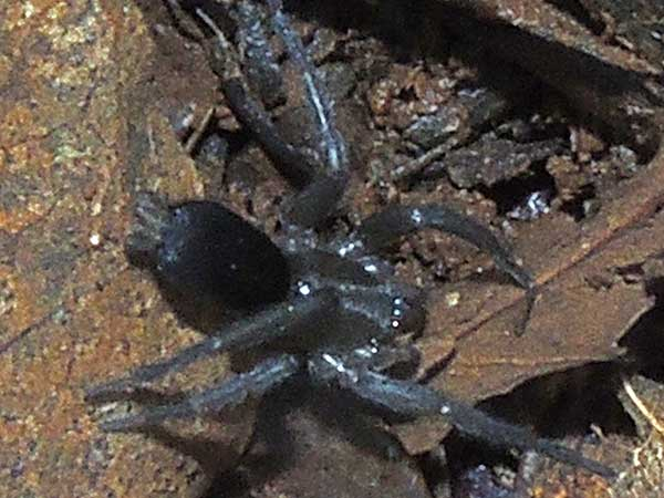 a ground spider from Iten, Kenya. Photo © by Michael Plagens