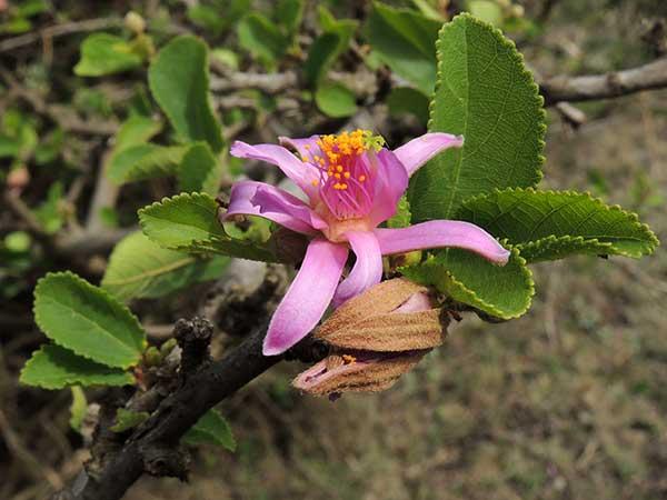 Grewia, Malvaceae, Kenya, photo © by Michael Plagens