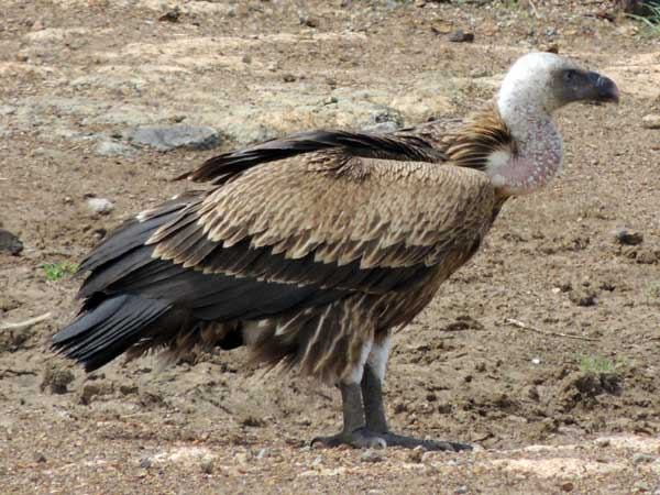 Rüppell's Griffon Vulture, photo © by Michael Plagens