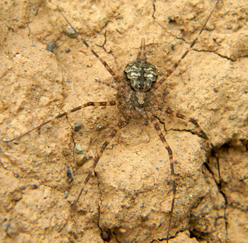 a two-tailed spider, Hersillidae, from Lake Bogoria National Park, October 2010. Photo © by Michael Plagens