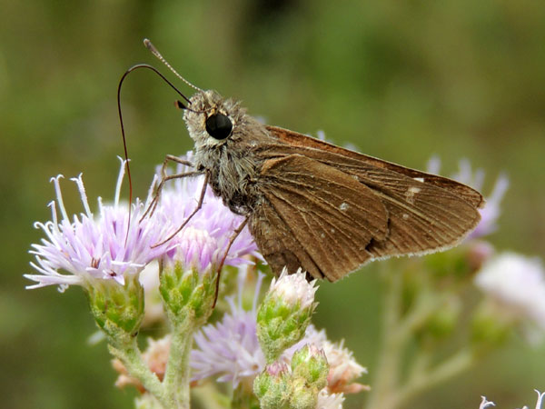 a possible elfin skipper, Sarangesa sp, from Kitale, Kenya, Jan. 2012. Photo © by Michael Plagens