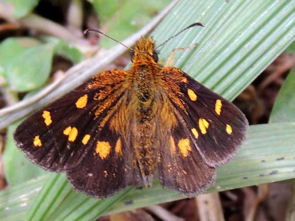 a possible Osmodes skipper, Hesperiidae, from Nairobi, Kenya, July 2014. Photo © by Michael Plagens