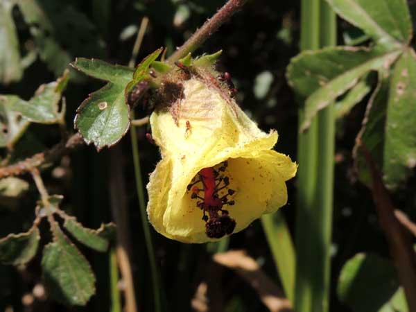 Swamp Hibiscus, Hibiscus diversifolius, from Eldoret, Kenya, photo © by Michael Plagens