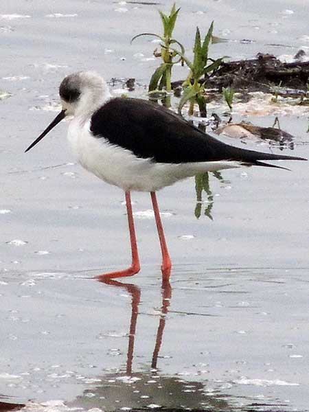 Black-winged Stilt, Himantopus himantopus, photo © by Michael Plagens