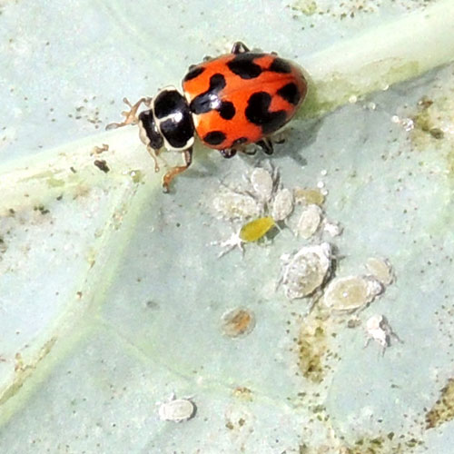lady beetles feeding on cabbage aphids in Nairobi, Kenya. Photo © by Michael Plagens