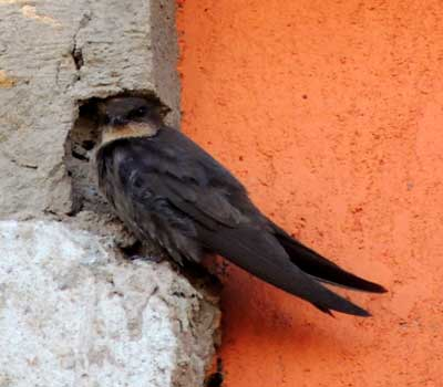 Common Barn Swallow, Hirundo rustica, photo © by Michael Plagens