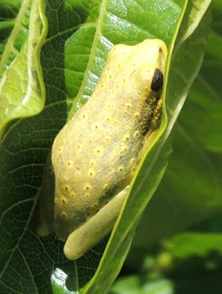 Probably a Hyla species, photo © by Michael Plagens