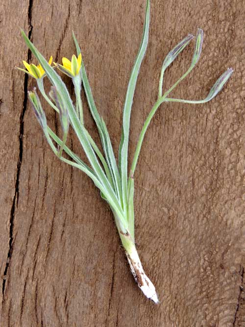 Yellow Star Grass, Hypoxis, on rim of Menangai Crater, photo © by Michael Plagens