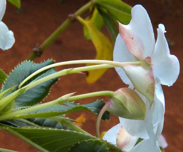 Impatiens, possibly sodenii, from Rift Valley, Kenya, photo © by Michael Plagens