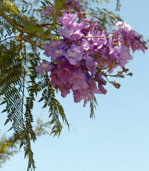 Jacaranda, a cultivated tree with showy purple flowers, Kenya, photo © by Michael Plagens
