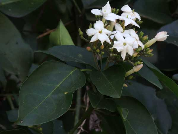 Forest Jasmine, Jasminum abyssinicum, Kenya, photo © by Michael Plagens