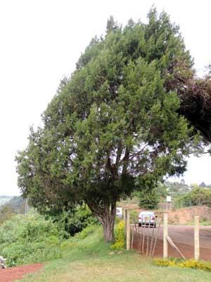 habit of African Juniper, Juniperus procera, photo © by Michael Plagens