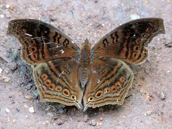 Brown Pansy, Junonia stygia, South Nandi Forest, Kenya. Photo © by Michael Plagens