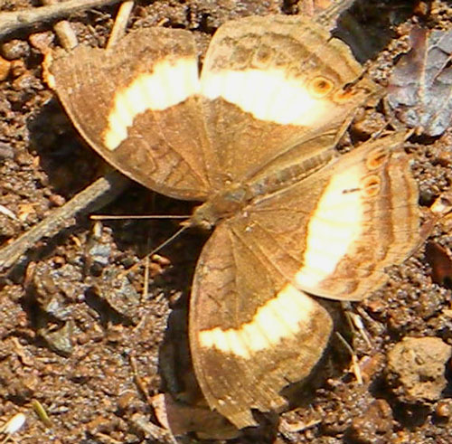 Soldier Pansy, Junonia terea, observed at City Park, Nairobi, Kenya, Oct. 2, 2010. Photo © by Michael Plagens