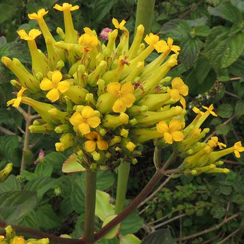 a succulent yellow-flowered Kalanchoe photo © by Michael Plagens