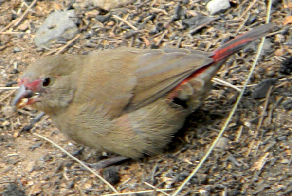 Red-billed Firefinch, Lagonosticta senegala, photo © by Michael Plagens.
