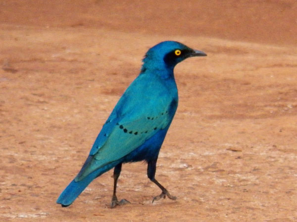 Greater Blue-eared Starling, Lamprotornis chalybaeus, photo © by Michael Plagens