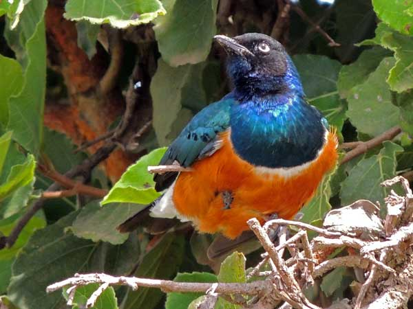 Superb Starling, Lamprotornis superbus, photo © by Michael Plagens