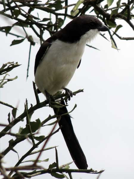 Long-tailed Fiscal, Lanius cabanisi, photo © by Michael Plagens. Identified by F. N'gweno.