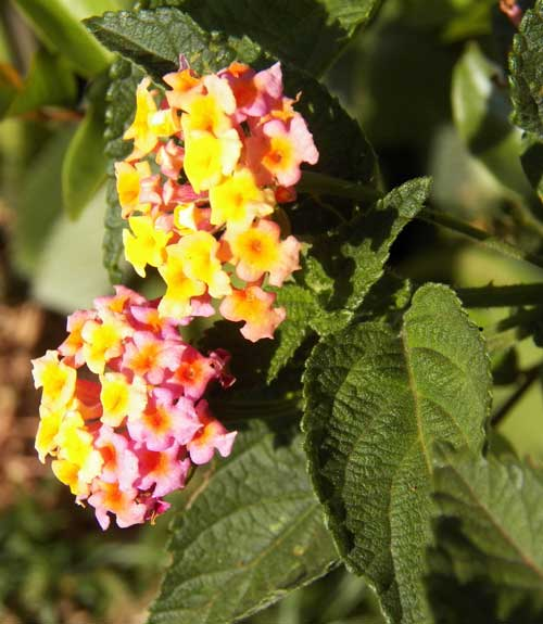 Lantana camara, Kenya, photo © by Michael Plagens