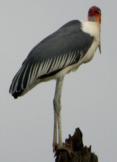 Marabou Stork, Leptoptilus crumeniferus, photo © by Michael Plagens.