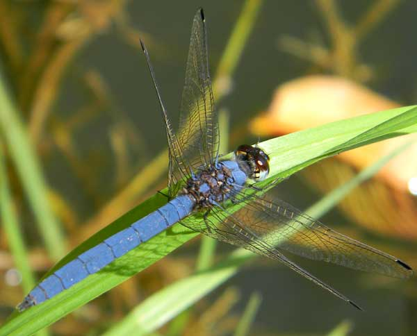 a blue Libellulid Dragonfly from Eldoret, Kenya, Oct. 2010. Photo © by Michael Plagens
