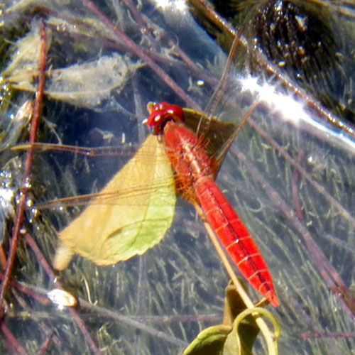 a ruby red Libellulid Dragonfly from Mombasa, Kenya, Jan. 2012. Photo © by Michael Plagens