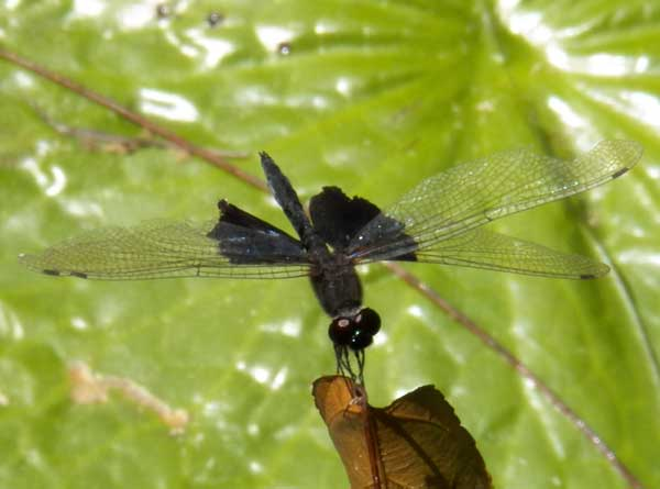 a skimmer dragonfly with black bases to the hind wings, Mombasa, Kenya, Jan. 2012. Photo © by Michael Plagens