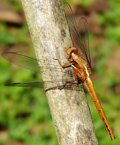 a Libellulid Dragonfly, Orthetrum caffrum, from Kitale, Kenya, Dec. 2012. Photo © by Michael Plagens