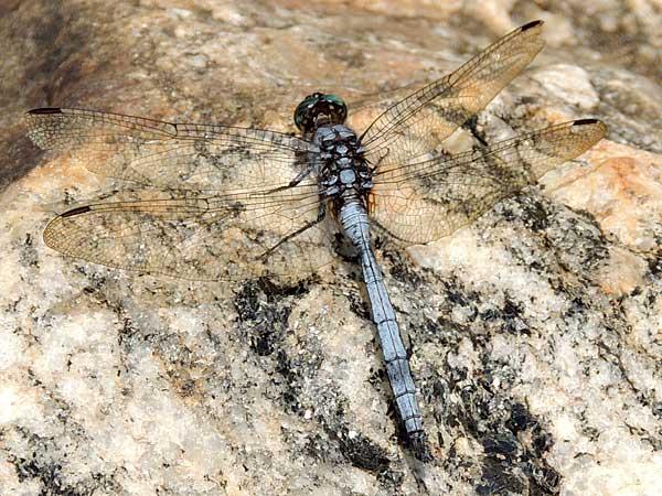 a powder blue Libellulidae Dragonfly from Kongelai Escarpment, Kenya, July 2014. Photo © by Michael Plagens