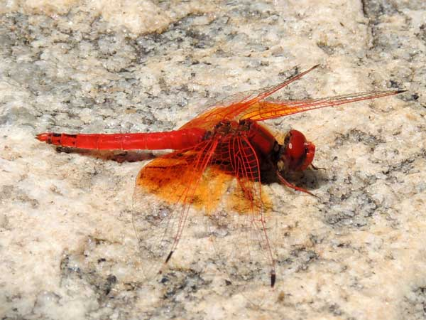 a red-winged Libellulidae Dragonfly from Kongelai Escarpment, Kenya, July 2014. Photo © by Michael Plagens