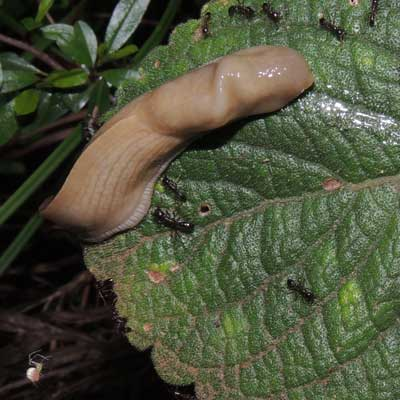 a keel-back slug, Limacidae, pursued by driver ants, g. Dorylus, Kenya, photo © by Michael Plagens