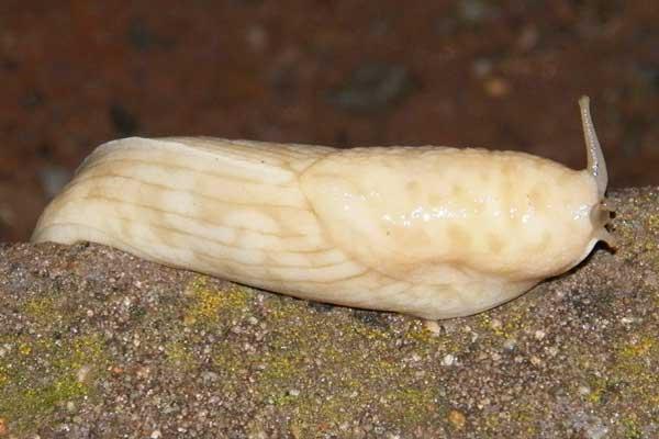 a large banana slug, Limacidae, from Nairobi, Kenya, December 2012. Photo © by Michael Plagens