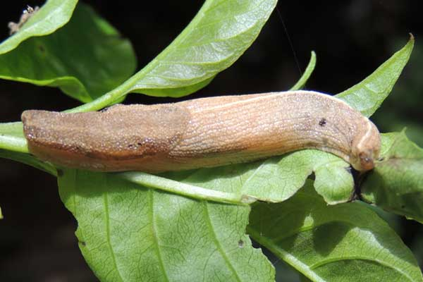 a large slug, Limacidae, from Kitale, Kenya, April 2013. Photo © by Michael Plagens
