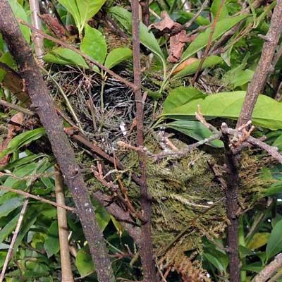 Nest of Bronze Mannikin, Lonchura cucullata, photo © by Michael Plagens