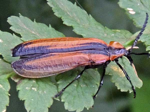 Lycidae from near Kapenguria, Kenya. Photo © by Michael Plagens