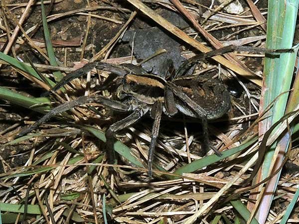 a wolf spider, ca. Lycosa, from Kerio Valley, Kenya. Photo © by Michael Plagens