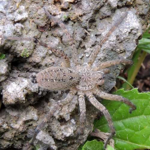 a wolf spider from Lake Elementaita, Kenya. Photo © by Michael Plagens