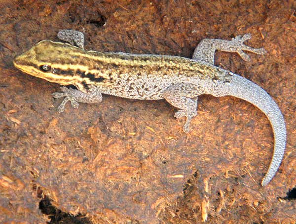 A dwarf gecko, lygodactylus, from Amboseli National Park, photo © by Michael Plagens