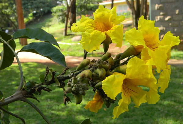 Markhamia lutea, a tree with showy yellow flowers, Kenya, photo © by Michael Plagens