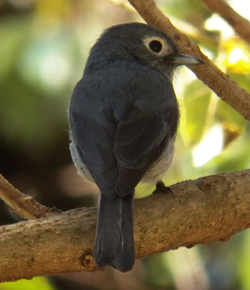 White-eyed Slaty Flycatcher, photo © by Michael Plagens.