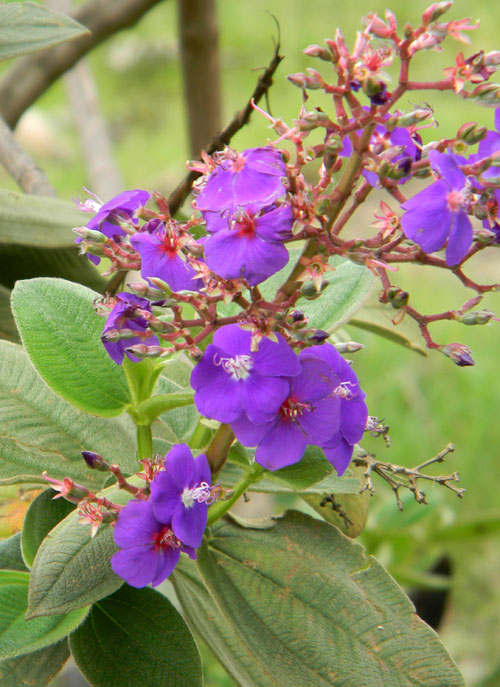 a melastomataceae, probably Tibouchina, photo © by Michael Plagens