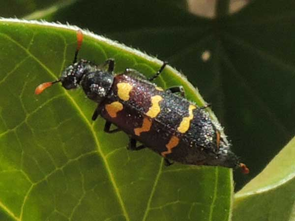 A Blister Beetle, f. Meloidae from West Pokot, Kenya. Photo © by Michael Plagens