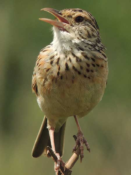 Rufous-naped Lark, Mirafra africana, photo © by Michael Plagens
