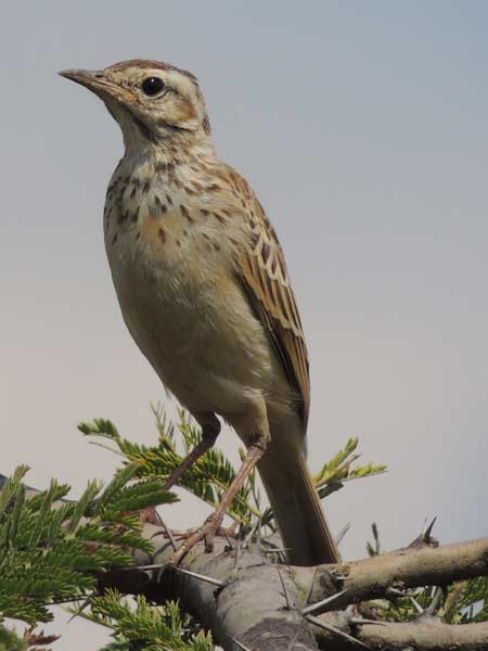 Fawn-colored Lark, Mirafra alopex, photo © by Michael Plagens