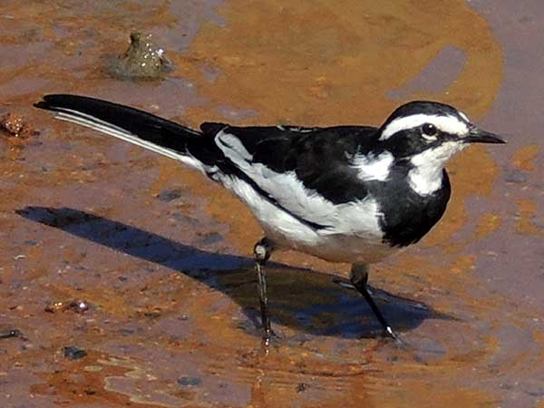 African Pied Wagtail, Motacilla aguimp, photo © by Michael Plagens