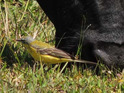 Yellow Wagtail, Motacilla flava, photo © by Michael Plagens